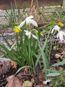 snowdrops and daffodils in February