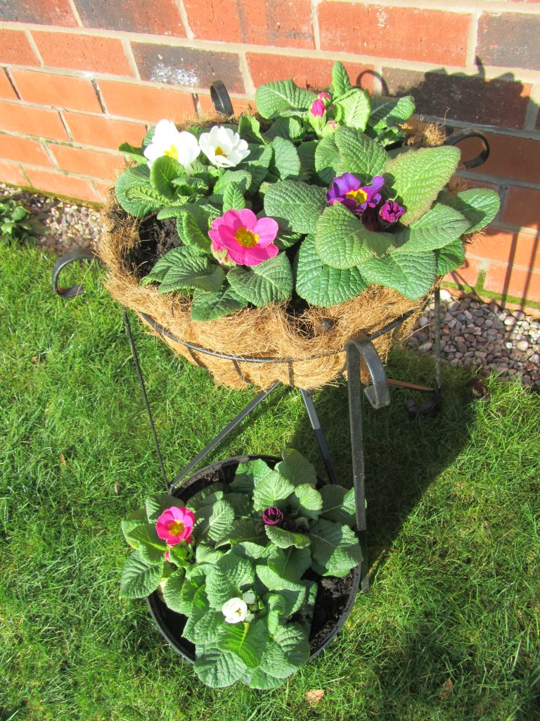 Potted Primulas in February