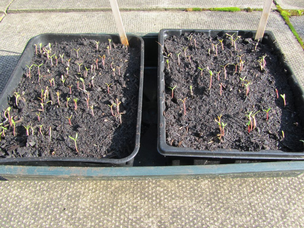 Dwarf Marigold Seedlings in February