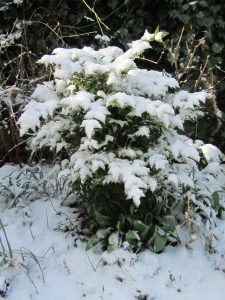 Snow covered bush in February