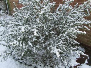 Snow covered Ceanothus in February