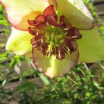 Yellow hellebore in sun