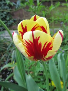Red and Yellow Tulip in May