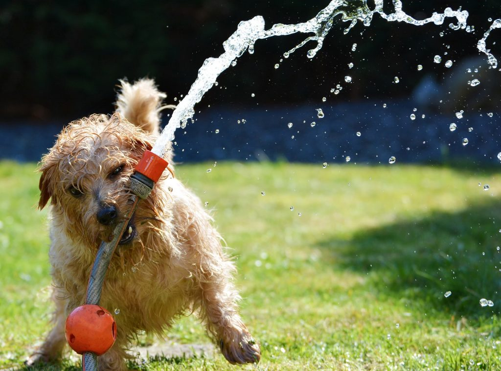 Dog with hosepipe in garden