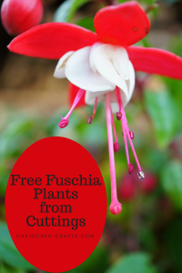 Free Fuschia plants from cuttings