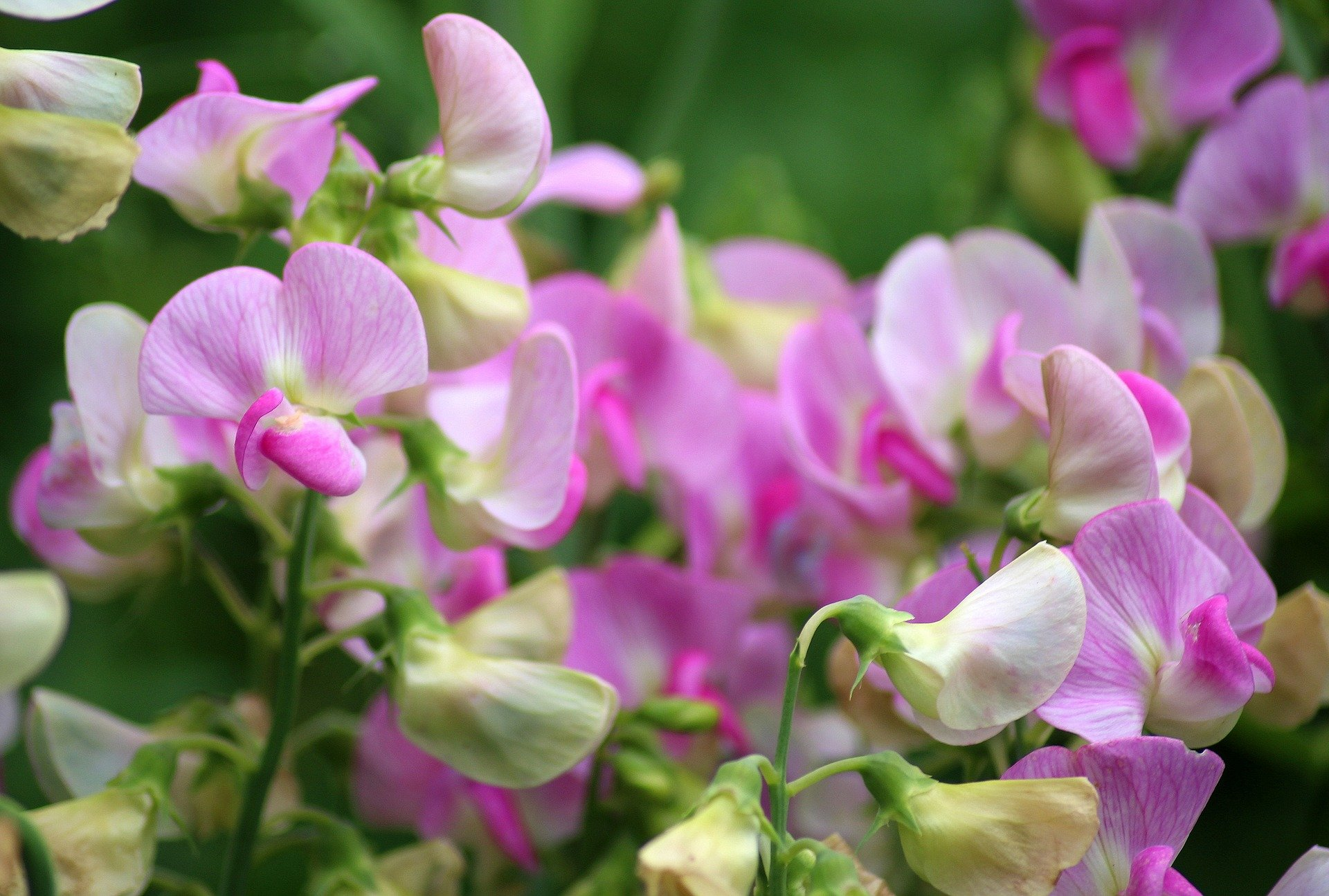 Sweet peas - September Gardening