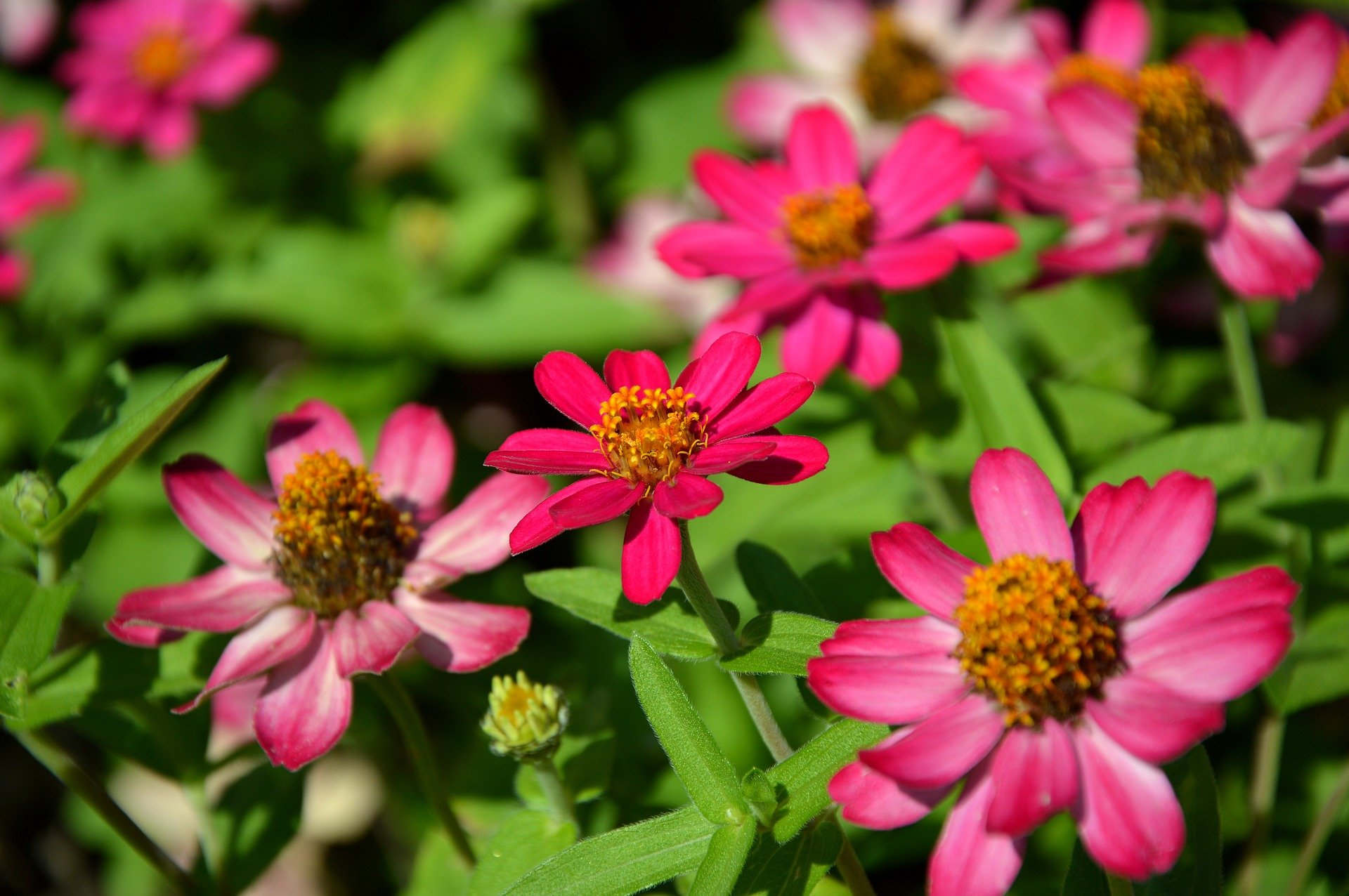 Zinnias - September Gardening