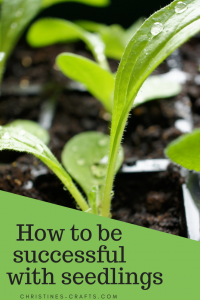 How to transplant seedlings successfully