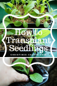 Transplanting seedlings