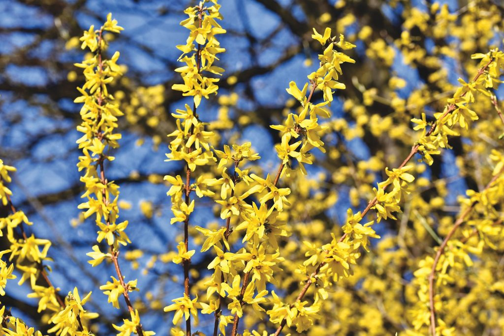 Forsythia - April garden Tasks