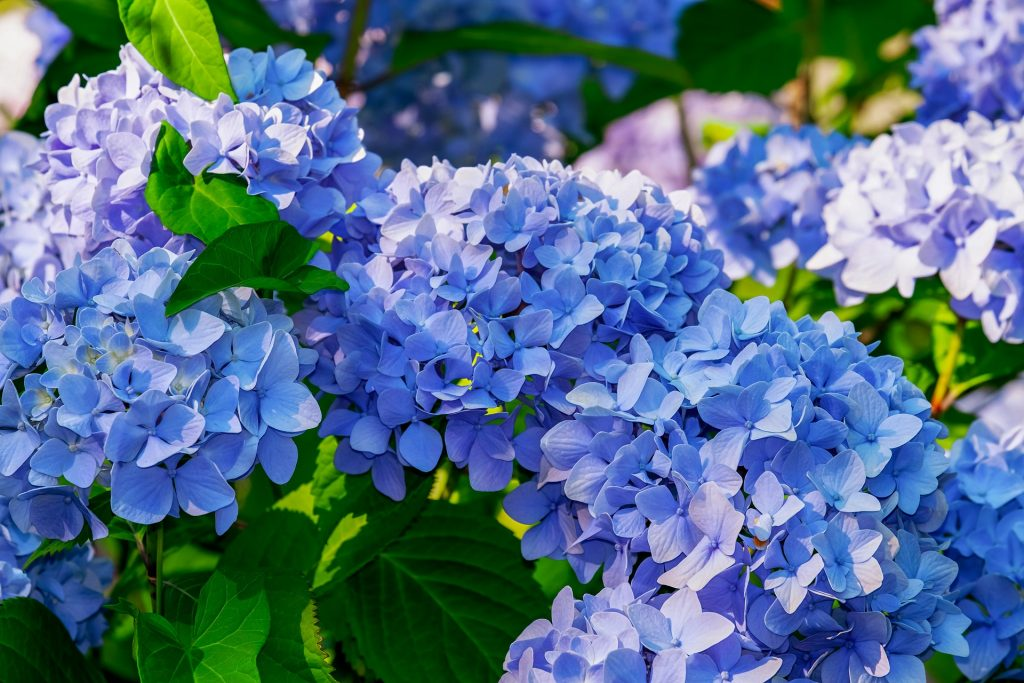hydrangea - Top 10 garden Tasks for April