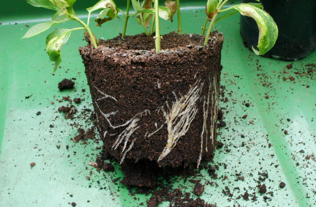 Rooted cuttings